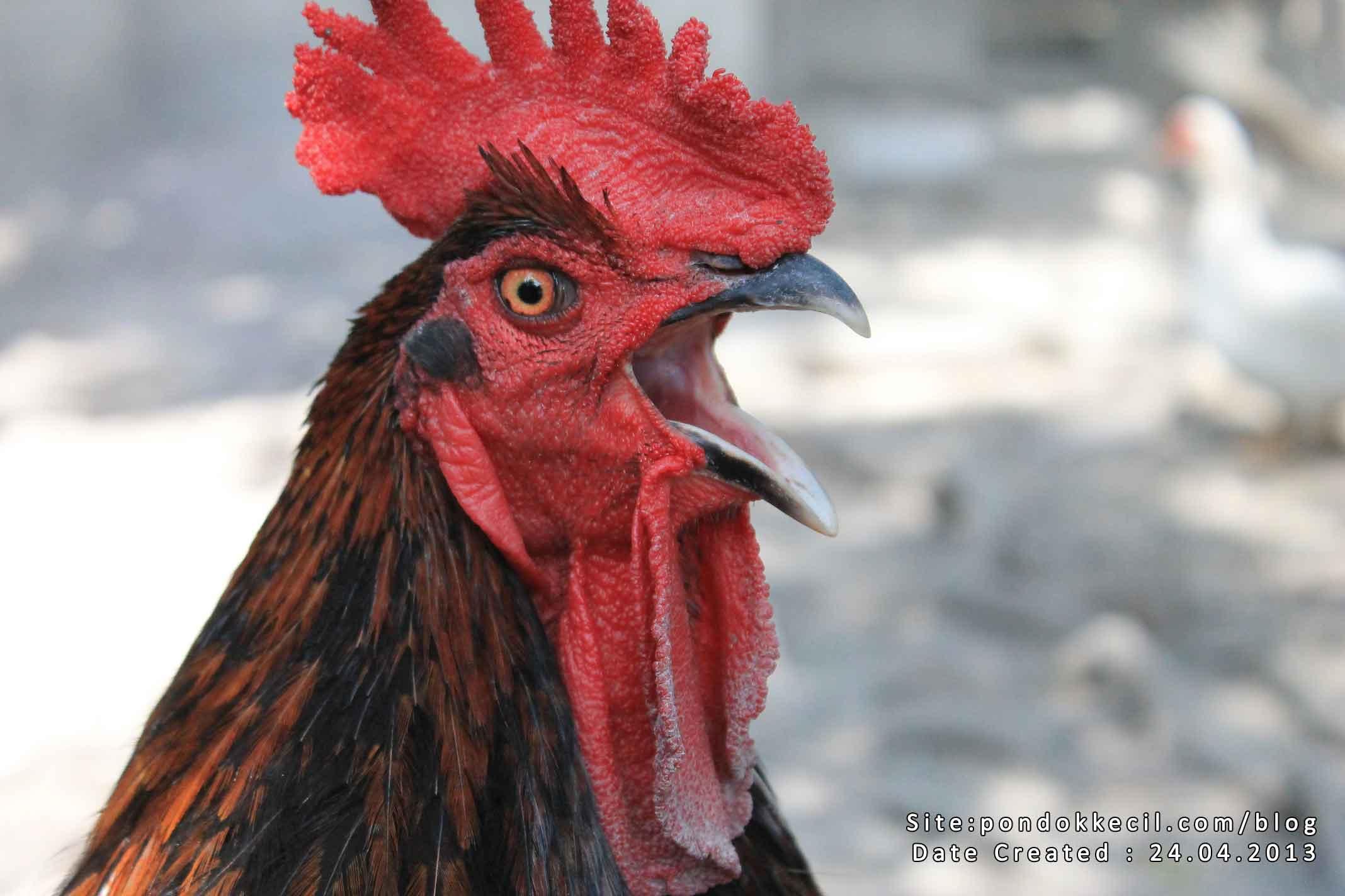 bapak ayam