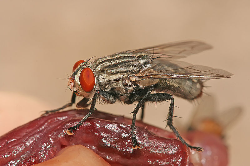 lalat dalam kehidupan seharian