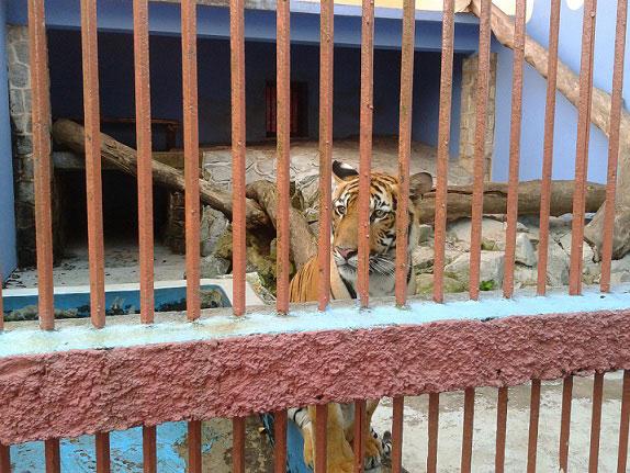 Ini bukan harimau aku.. Kredit : Google Images